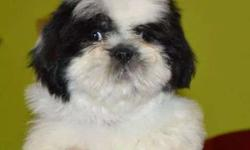 The Healthy active Lhasa apso pug Yorkshire pups