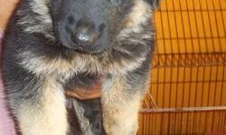 This german shepherd puppies available for sale Male