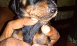 Dash puppies for sale .3 puppies for sale at �2500.each