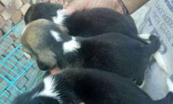 One Tricolor Beagle Puppies fe male