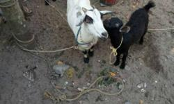 Three White And Black Goats