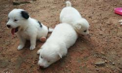 Three White Coated Puppies
