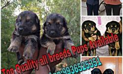 Top Quality All breeds Pups Available Rate list Gsd