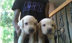 Heavy bone Top quality lab puppies Male 6500 Female