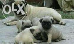 top quality pug puppies sales in low price