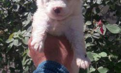 Top Quality Snow White Pomerian And Dashound� Puppies