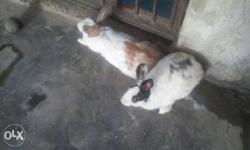Two Black-white And Brown-white Rabbits