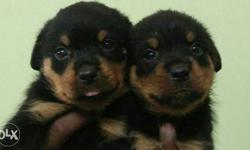 Two Brown-and-black Puppies