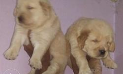 Show quality golden ratriver female available at