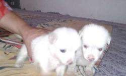 Two Indian Spitz Puppies