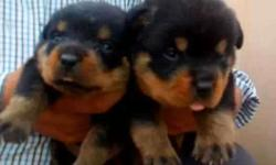 Two Mahogany Rottweiler is only for 1 month