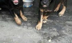 Two male femail german sheffrd puppies