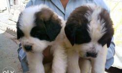 Two Saint Bernard Puppies Beagle ,, Ritrevers & pug for