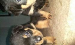 Two Short Coat Tan-and-black rotweler Puppies