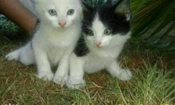 Two White And Bi-color Kittens