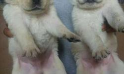 Two White And Brown Short-coated Puppies
