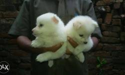 Two White Japanese Spitz Puppies