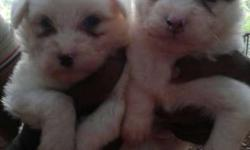 Two White Short Coat Puppies