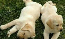I need one male lab puppy