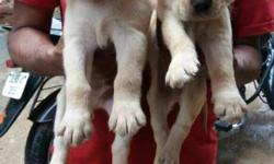 Two Yellow Labrador Retriever Puppies & German Shepherd