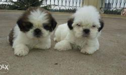 Unbelievable Shih Tzu) Top Quality Puppies I Have