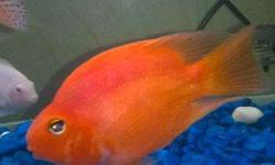 "Very big and beautiful cichlid 4 5""-5"" Blood red"