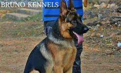 Very good lineage show quality German Shepherd adult