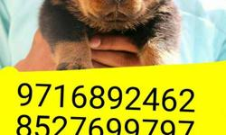 very hard quality k ## Rottweiler puppies and all types