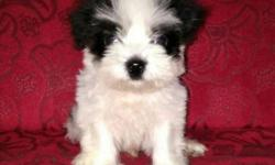 Very Rare Black & White Lhasa Apso Compact Size Male