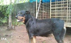 Good and friendly rott for sale.. Also look exchange