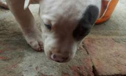 White And Black American Bull Terrier Puppy