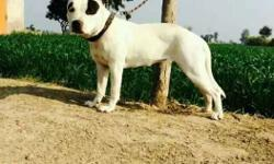 White And Black pittbull