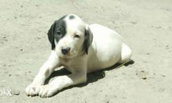 Pointer female pure 101% heavy weight nd health nd