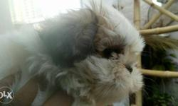White And Brown Shih Tzu Puppy Shihtzu puppies for sale