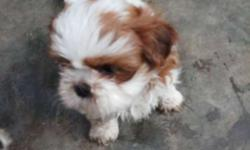 White And Brown Yorkshire Terrier Puppy