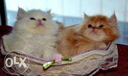 white and golden color Persian kittens available each