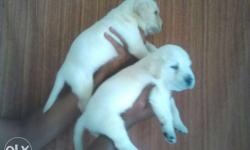 White black fawn colour lab puppies Avalable