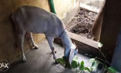 White goat(feeding mother)
