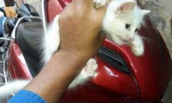 White kitten for sell active haldhy toilet trained