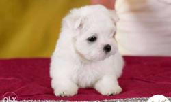 White Maltese puppies available pure breed import