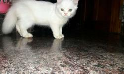 white persian cat 4 months old female
