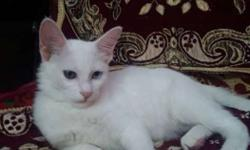 White Short-fur Cat