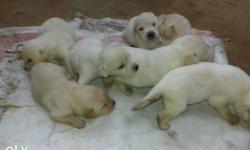 White Short Coat Puppy Litter