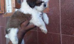 Wonderful Quality Shihtzu Puppies Are Available For