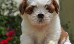 Dear all, i have top class shihtzu puppies at my home.