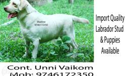 Yellow Labrador Retriever Stud and Puppys available