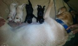 4 female puppies 4000 for 1 and 1 male puppy 6000