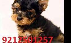 York shire terrier& chihuahua cute pup sell now tk pet