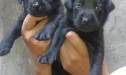 Z black labrador pupys sell on chandigarh mohali male